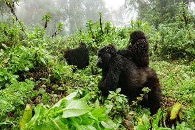 4x4 Uganda Gorillas, Wildlife & Chimps