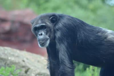 Adventurer Congo's Gorillas & Forest Experience