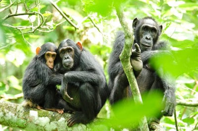 Adventurer Uganda Chimps, Gorillas & Wildlife